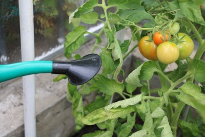 Gießen der Tomaten