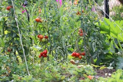 Tomatenpflanzen mit Früchten