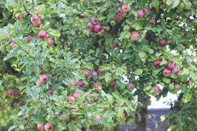 Apfelbaum - Malus