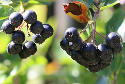 Apfelbeere mit krankem Blatt