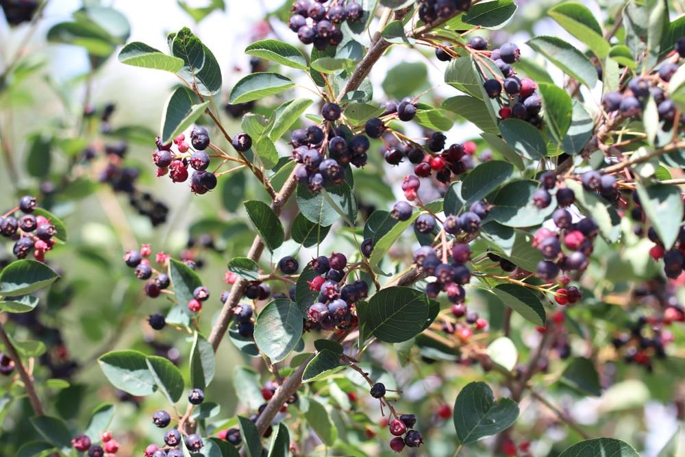 Aronia prunifolia - Apfelbeere