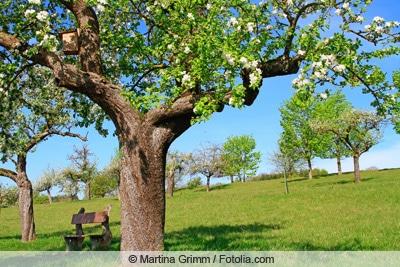 Streuobstwiese mit Apfel und Kirschbäumen