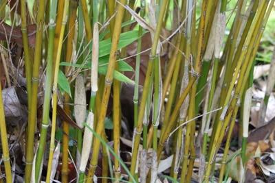Bambus benötigt Rhizomsperre
