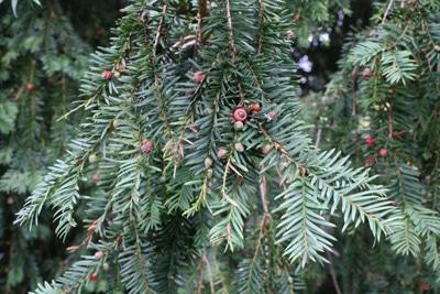 Eibe - Gemeine Eibe - Taxus baccata