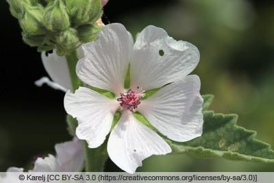 Echter Eibisch - Althaea officinalis