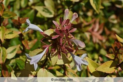 Abelien-Blüten