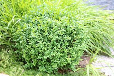 Buchsbaum - Buxus sempervirens