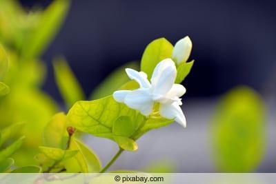 Arabischer Jasmin - Jasminum sambac