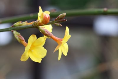 Winter-Jasmin - Jasminum nudiflorum