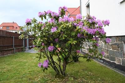 Rhododendron im Vorgarten