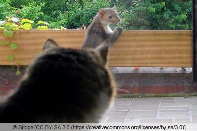 Katze beobachtet Marder auf Balkon