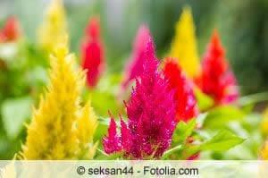 Brandschopf-Blüten