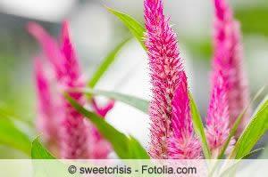 Schöne Brandschopf-Blüten