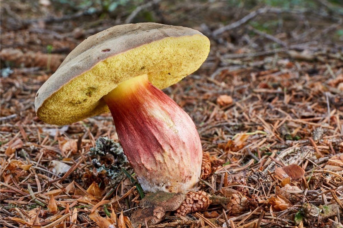 Rotfußröhrling - Xerocomellus chrysenteron