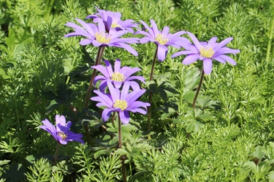 Strahlen-Anemone als Frühlingsblume