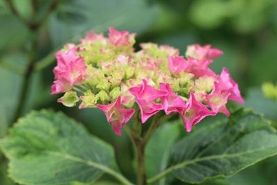 Japanische Hortensie - Hydrangea macrophylla 'Renate'