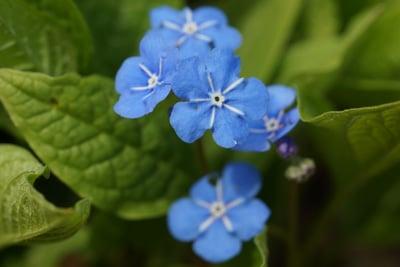 Vergissmeinnicht als Frühlingsblume