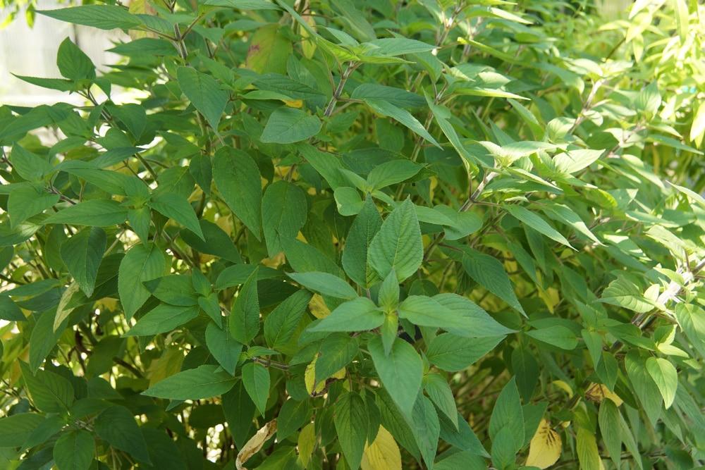 Ananassalbei - Salvia rutilans