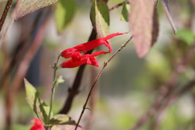 Ananassalbeiblüte