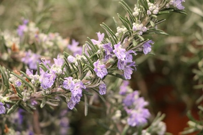 Rosmarin - Rosmarinus officinalis