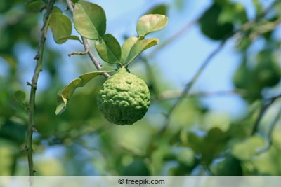 Bergamotte - Citrus x limon