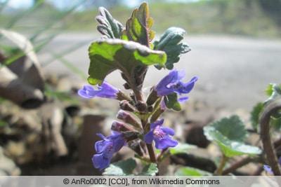 Gundermann - Glechoma hederacea
