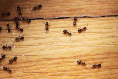 Ameisenplage - was tun? Die besten Hausmittel gegen Ameisen ...