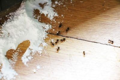 Ameisen mit Backpulver vernichten