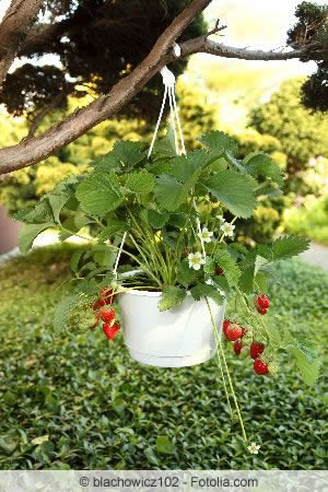 Hängende Erdbeerpflanze
