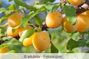 Kirschpflaumen