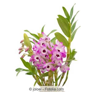 Orchidee Nobile