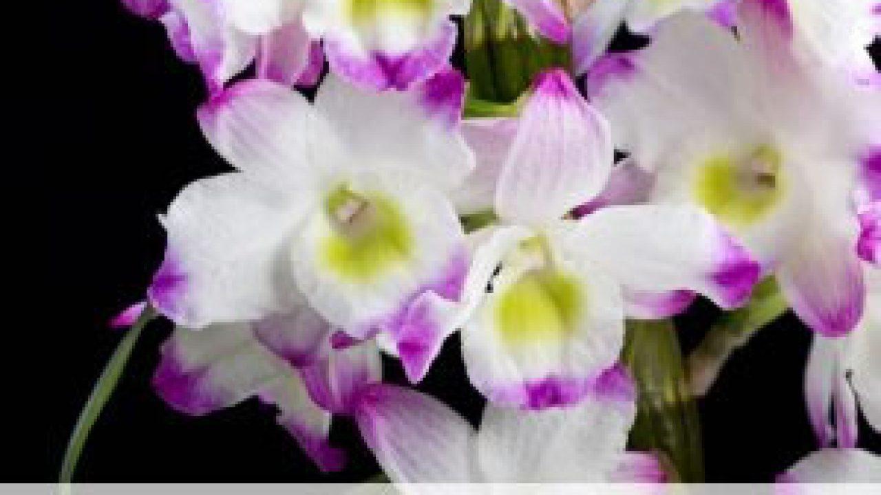 Dendrobium Nobile Orchidee - Pflege-Anleitung - Gartenlexikon.de
