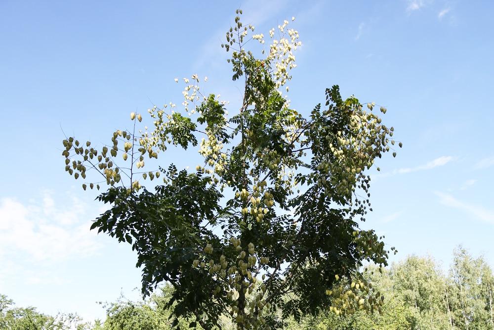 Blasenesche - Koelreuteria paniculata
