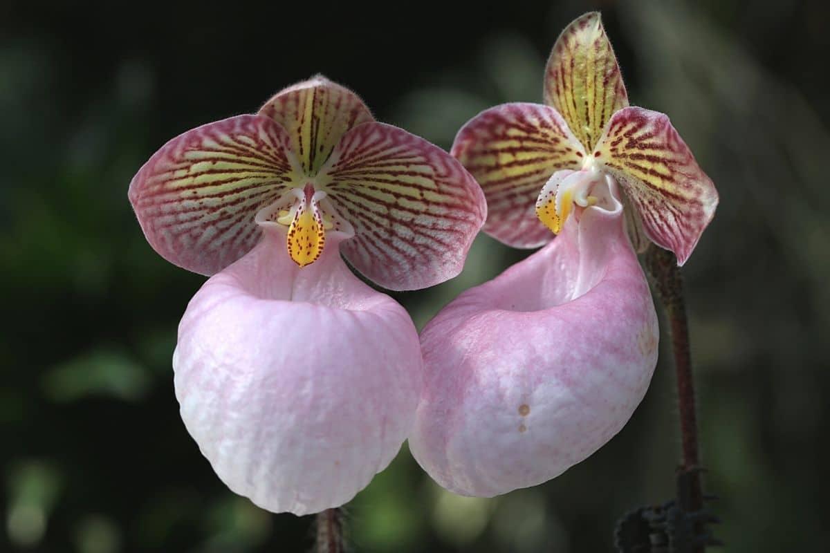 Frauenschuh-Orchidee - Paphiopedilum micranthum