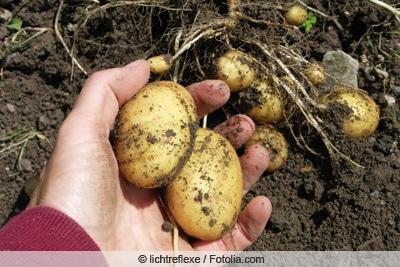 Kartoffelernte per Hand