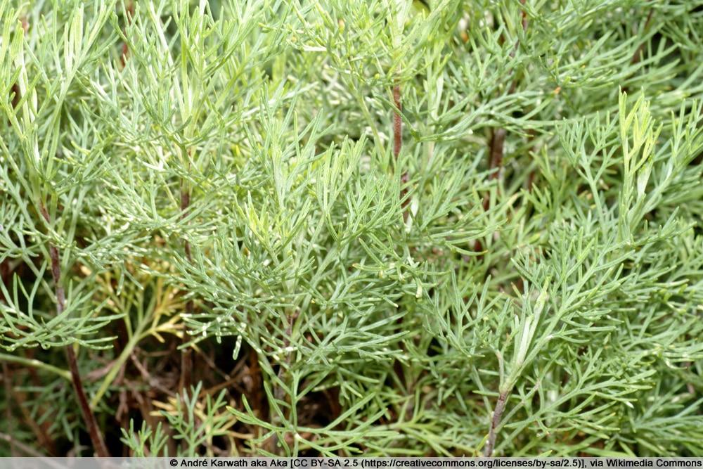 Eberraute - Artemisia abrotanum