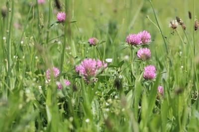Rotklee - Trifolium pratense
