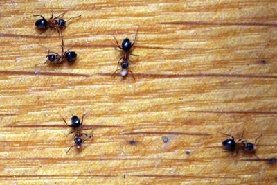 Hausmittel gegen Ameisen im Haus - das hilft wirklich ...