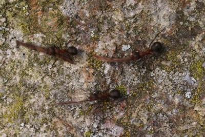 Ameisen in Makroaufnahme