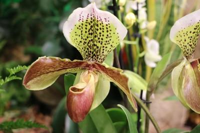 Frauenschuh-Orchidee - Paphiopedilum