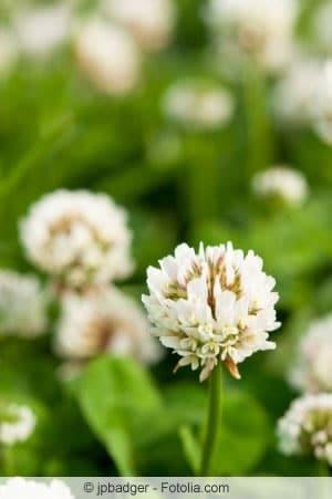 Weisse Klee-Blüte