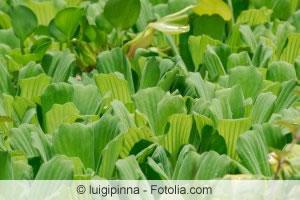 Wassersalat-Blätter