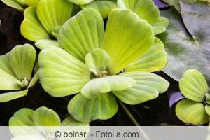 Wassersalat-Pflanze