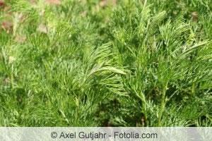 Eberrauten-Pflanze