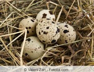 Nest voller Wachtel-Eier