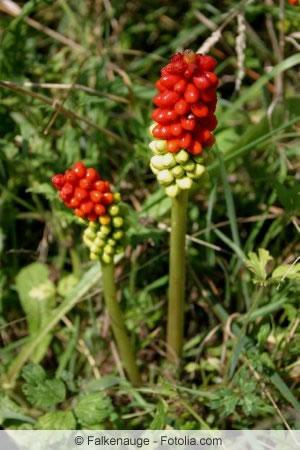 Rote Früchte des Aronstabs