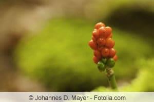 Aronstab-Früchte