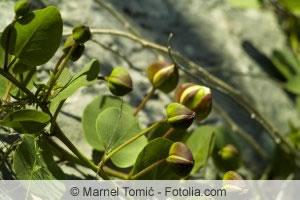 Kapernstrauch-Früchte