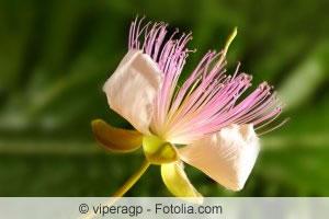 Blüte des Kapernstrauchs