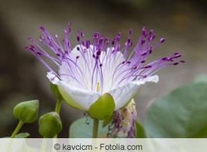 Kapernstrauch-Blüte